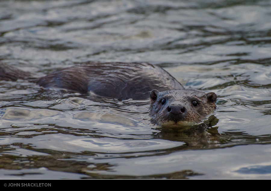In Search of Wild Otters